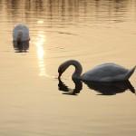 Labutě Autor: Ondřej Schenk